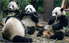 Pandas eat bamboo at Chengdu Research Base, in China's Sichuan province. Researchers say that an added risk to the pandas' survival - already threatened by poachers and food shortages - is a parasite that has caused 50% of panda deaths in the past five years.