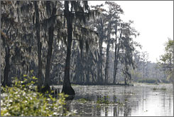 This New Orleans swampland is just one area of thousands of miles of Louisiana Coast line that could be lost with out proper care. Each year the state loses 24 square miles of its coast, which helps serve as a buffer for hurricanes and tidal surges.
