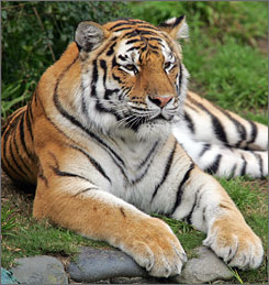 Tatiana, a female Siberian tiger that mauled a zookeeper last year, escaped from her pen at the San Francisco Zoo on Tuesday, killing one man and injuring two others before police shot her dead.