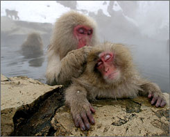 Japanese Macaque monkeys groom each other, sitting in a hot spring in the snow at Jigokudani Wild Monkey Park in Yamanouchi, Japan in January 2004. Male macaque monkeys pay for sex by grooming females, according to a recent study that suggests the primates may treat sex as a commodity.