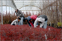 Workers tag plants last month at Greenleaf Nursery in Park Hill, Okla. Dozens of employees disappeared from the nursery days before the law took effect Nov. 1.