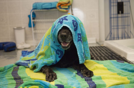 "Cocky, a black Labrador retriever, dries off after a swim session at the Paddling Paws swimming pool in Moncks Corner, S.C. Cocky, 9, was born with deformed hind legs and has severe arthritis. ""The pool has greatly improved the quality of his life,"" owner Sue Lee says. ""He smiles now."""