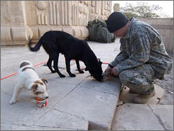 Army Sgt. Peter C. Neesley is seen in Baghdad taking care of Boris, foreground, and Mama. Neesley's family was not surprised to hear he had adopted the two stray dogs outside his military base, because he had always done so in Michigan.
