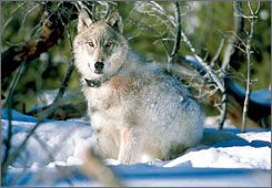 A gray wolf watches biologists in Yellowstone National Park, Wyo., after being captured and fitted with a radio collar.