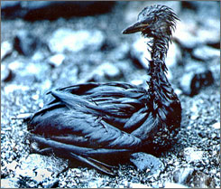 A Red-necked Grebe covered in oil in April 1989 after the oil spill that took place when the Exxon Valdez ran aground in Prince William Sound.