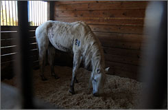 An Arabian horse rescued by the HSPCA bows its head in a stall in Horrell Hill, S.C., Wednesday. One of the state's top agriculture officials, James Trexler, is accused of mistreating dozens of horses.