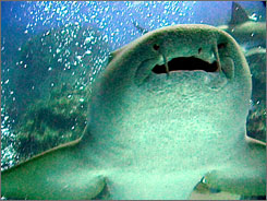 Recent news about two deadly shark attacks may make swimming among the preditors seem like suicide, but for many scuba divers nothing is more exhilarating than swimming among them like this nurse shark photographed Aug. 12, 1999, near Cay Cay, Bahamas.