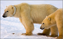 A polar bear with her cub on the edge of Hudson Bay outside Churchill, Mantioba, Canada, in November 2007. 