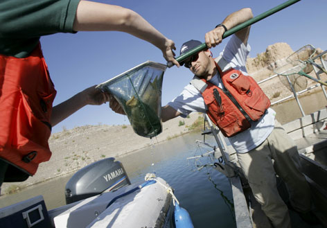 Biologist John Umek, right, hands over electrically stunned fish to Danelle Wiersma,hydrologist with the US Geological Survey, on Lake Mead, near Boulder City, Nev., Nov. 5, 2007, to study effects of pharmaceuticals in water on fish. Contaminated water supplies have been blamed for several reproductive problems in many types of fish, including female fish who have developed male genital organs.