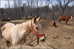 Gus, a 20-year-old thoroughbred, grazes the hay trough at the Roanoke Valley Horse Rescue shelter.