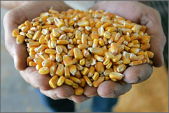 A handful of corn is shown before it is processed at the Tall Corn Ethanol plant at the Tall Corn Ethanol plant in Coon Rapids, Iowa. How farmers choose to use their land this year is the focus of the planting report due March 31 from the U.S. Department of Agriculture.