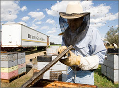 Beekeeper David Hackenberg works on his hive in Lewisburg, Pa., April 29, 2007. Hackenberg has lost nearly $400,000 from the mysterious bee deaths across the country.