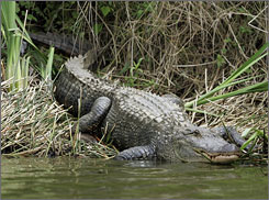 An alligator suns itself in Avondale, La. Alligator blood serum destroyed 23 species of bacteria in a test, while humans typically can defeat only eight.