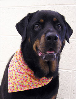 "Reasons abound why big black dogs like Kit-Kat, a 5-year-old female Rottweiler, at the Humane Society of Vero Beach in Vero Beach, Fla., linger in shelters as their smaller or lighter compatriots find ""forever homes."""
