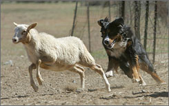 Kerry, a Bernese mountain dog, is trained to herd sheep at Drummond Ranch in Vincent, Calif., March 18. The 40-acre haven an hour outside Los Angeles allows city dogs escape their leash-and-lounge existence.