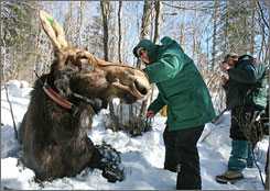 Research Biologist Mark Keech, right, and Minnesota Zoo Veterinarian Tiffany Wolf, left, fit a radio collar onto 800-lb. cow moose #294. They are also taking samples that researchers hope will provide further clues about the cause of increased mortality in the northeastern Minnesota moose population.
