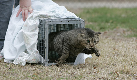 After receiving his rabies vaccine update, Sgt. Stripes is released into the area where he was caught earlier in the day in Burlington County, N.J.