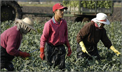 Ivan Garcia, 15, second from left, picks broccoli near Celaya, Mexico, on April 30. Garcia said he started working in the fields when he was 13. Mexican law prohibits children under 14 from working.