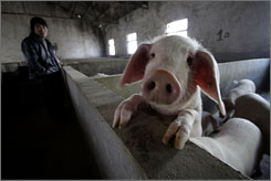 The intestines of pigs in Changzhou, China, and elsewhere are used to make crude heparin. A tight supply of pigs has raised the price of the drug, says the APP Pharmaceuticals chief.