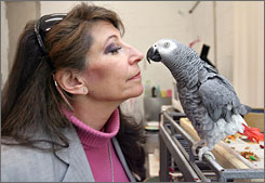 Dr. Irene Pepperberg works on speech and other skills with Griffin, a 13-year-old African gray parrot.