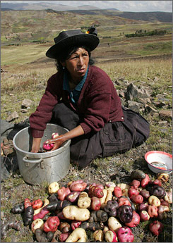 A woman from the San Jose de Aymara community in Peru washing native potatoes during harvest.  Peru claims to have some 3,000 varieties of potato.