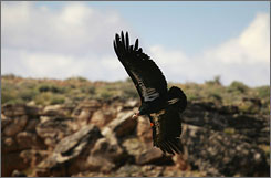 A rare and endangered California condor flies over Marble Gorge, east of Grand Canyon National Park March 27, 2007 west of Page, Arizona.