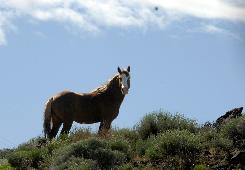 A wild stallion keeps watch in the Lagomarsino Canyon area east of Reno, on June 4, 2008. Faced with too many wild horses on the range and in holding facilities, federal officials are considering drastic policy changes that include ending roundups and euthanizing animals.