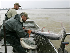 Charlie Hopkins hauls a paddlefish into his boat with  Vincent Halligan on the Ohio River at Smithland, Ky. Fishermen collect 5 to 10 tons of caviar from these Ohio River fish each year.