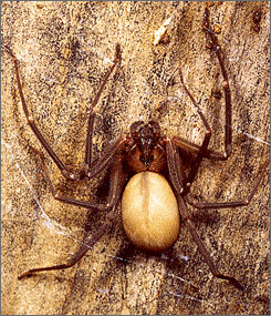 Poisonous brown recluse spiders prefer to hide in dark quiet places, like basements and attics.