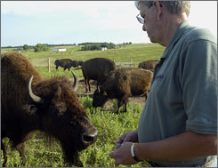 Rick Knobe has 28 American bison on his ranch south of Montrose, S.D.