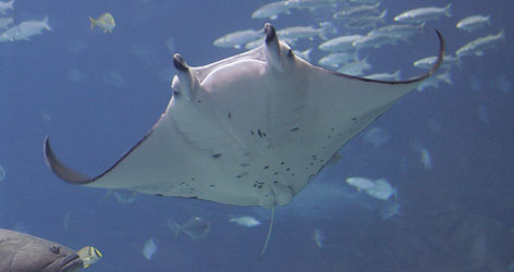 The Georgia Aquarium is now home to the only manta ray exhibit in the United States. Manta rays can grow up to 26 feet across and weigh about 6,000 pounds.