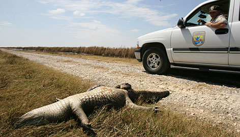 Tim Cooper inspects the remains of an alligator he says was killed by the storm surge.