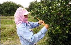 Southern Gardens Citrus worker Laura Contreras marks a tree infected with citrus greening in the Clewiston, Fla., grove last August.
