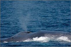 The Supreme Court is reviewing whether judges can limit the Navy's use of sonar. Here, a rare blue whale rises to the surface in the Catalina Channel near Long Beach, Calif., in July.