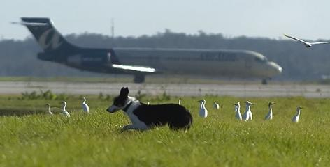 Sky, a year-old border collie, gets ready to scare birds off the runway at the Southwest International Airport in Fort Myers, Fla.