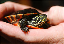 Democrats on Capitol Hill are looking to prevent changes to federal endangered species rules. Here, a red-bellied turtle is seen during a news conference on Oct. 14 in Spanish Fort, Ala. The turtle is listened as endangered by the U.S. Fish and Wildlife Service and is threatened by motorists traveling along coastal highways.