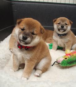 Two of the six shiba inu puppies in San Francisco that are featured on a website called Ustream.tv.