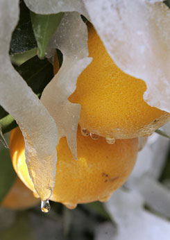 In this image from Jan. 16, 2007, a drop of water begins to fall from melting ice covering oranges on a tree near Modesto, Calif. Three nights of freezing temperatures last year cost California 70% to 75% of its billion-dollar citrus crop, according to industry estimates. The current cold snap could hurt this season's crop, a trade group warns.