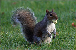 A squirrel carries an acorn in its mouth in London's Hyde Park on Sept. 25.