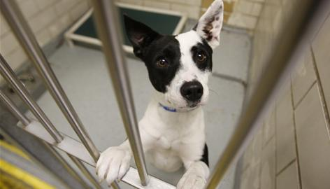 Petey, an Australian cattle dog, is up for adoption at the SPCA of Texas in Dallas, one of 300 shelters participating in Change a Pet's Life Day on Jan. 24.