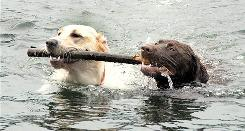 Sadie, a 1-year-old yellow Labrador retriever, and Koda, a 2-year-old chocolate Lab, retrieve a stick together in Lake Frances in Nescopeck State Park near Hazleton, Pa.