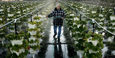 Organic produce farmer Frank Oakes sprays his strawberry plants to form a protective ice dome in Collier County, Fla.