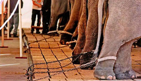 This photo is among the images placed in evidence by a coalition of animal welfare groups in their lawsuit against Ringling Bros.' Circus claiming that circus elephants are sometimes chained for days at a time. The coalition requested an injunction on May 21, 2008, to halt the practice while battling to bring its long-running lawsuit to trial.