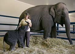 "Elephant handler Trudy Williams tends to ""Barack"" at the Ringling Brothers and Barnum & Bailey Center for Elephant Conservation, in Central Florida. The 250 pound male Asian elephant was born at the center on Monday, Jan. 19, and according to the center, is only the fourth elephant to be born in the United States as a result of artificial insemination. Barack's mother, Bonnie, joins them in the pen."