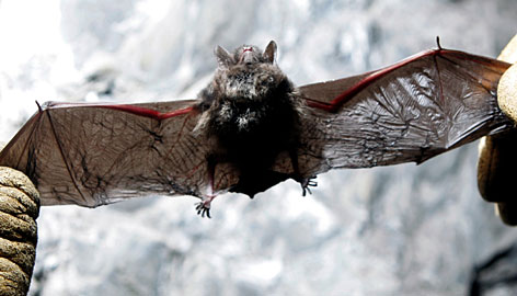 A dead Indiana bat is found in an abandoned mine in Rosendale, N.Y.,  on Jan. 27.  White nose syndrome is killing more bats over a larger area this winter, reaching south into New Jersey and Pennsylvania and leaving caves in hard-hit areas like New York with decimated bat populations.