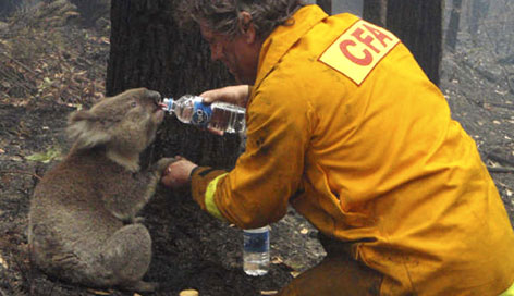 Firefighter David Tree shares his water with injured Australian koala Sam at Mirboo North after wildfires swept through the region Sunday.