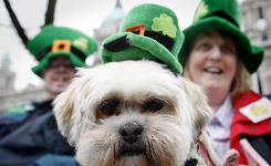 A dog called Shamrock is dressed in a festive costume for St Patrick's Day Tuesday in Belfast, Northern Ireland.