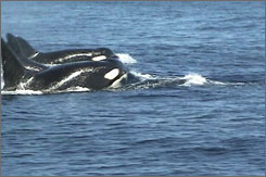 In this video still, Orca whales are seen in the Gulf of Mexico.