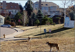 A pair of coyotes roam through a housing subdivision in Littleton, Colo., in November. After a handful of recent attacks, officials are trying to keep the animals away from residents.