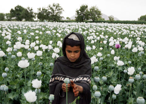 An Afghan boy works in an opium poppy field Saturday in Musa Qala in Helmand province. Poppy production has skyrocketed since 2001. 